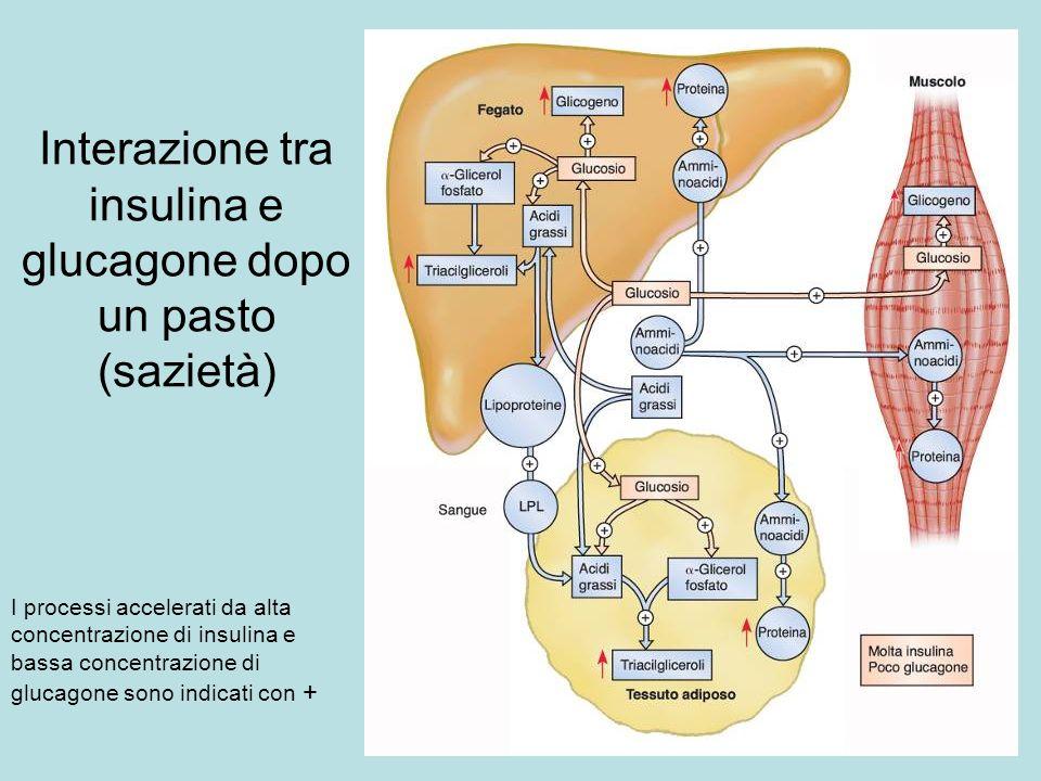 Interazione tra insulina e glucagone dopo un pasto (sazietà)