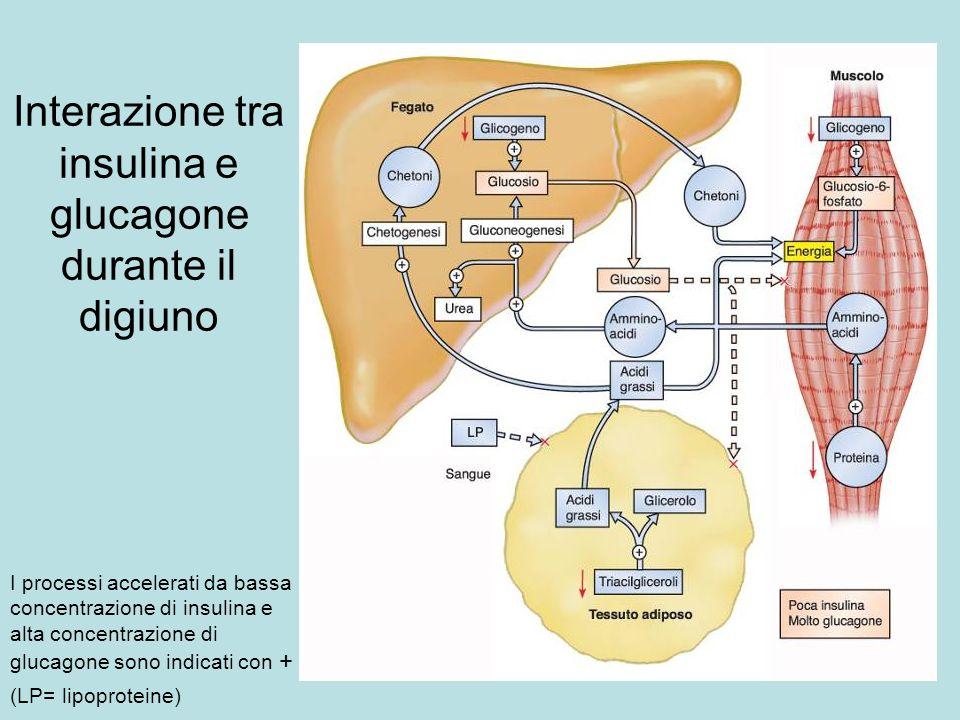 Interazione tra insulina e glucagone durante il digiuno