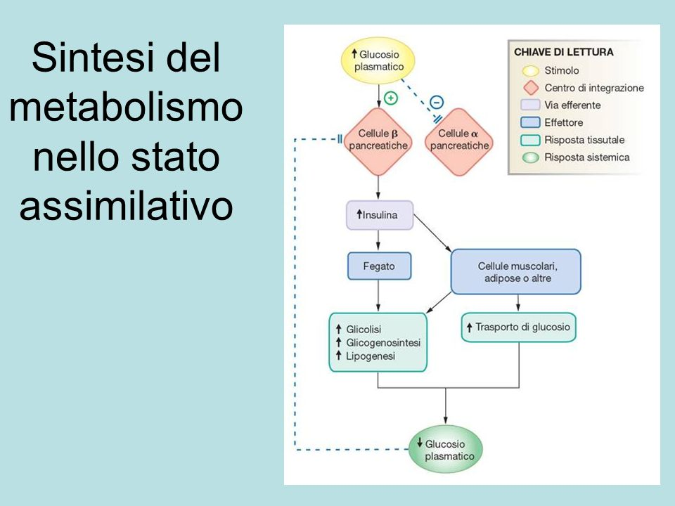Sintesi del metabolismo nello stato assimilativo