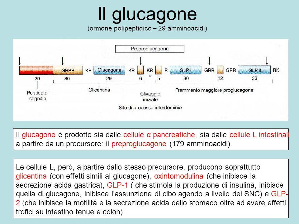 Il glucagone (ormone polipeptidico – 29 amminoacidi)