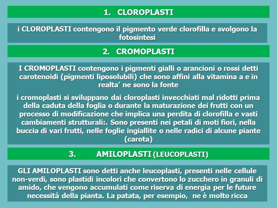 3. AMILOPLASTI (LEUCOPLASTI)