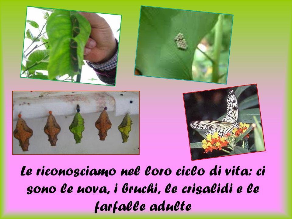 Le riconosciamo nel loro ciclo di vita: ci sono le uova, i bruchi, le crisalidi e le farfalle adulte
