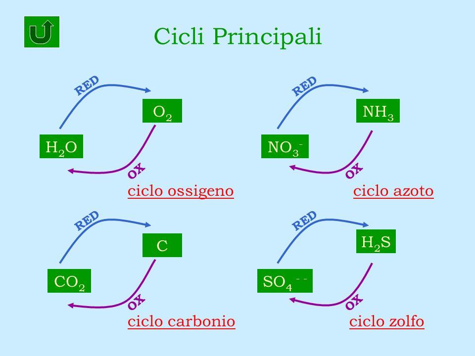 Cicli Principali O2 NH3 H2O NO3- ciclo ossigeno ciclo azoto H2S C CO2