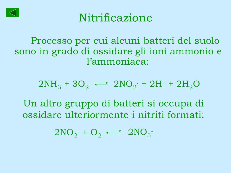 Nitrificazione Processo per cui alcuni batteri del suolo sono in grado di ossidare gli ioni ammonio e l'ammoniaca: