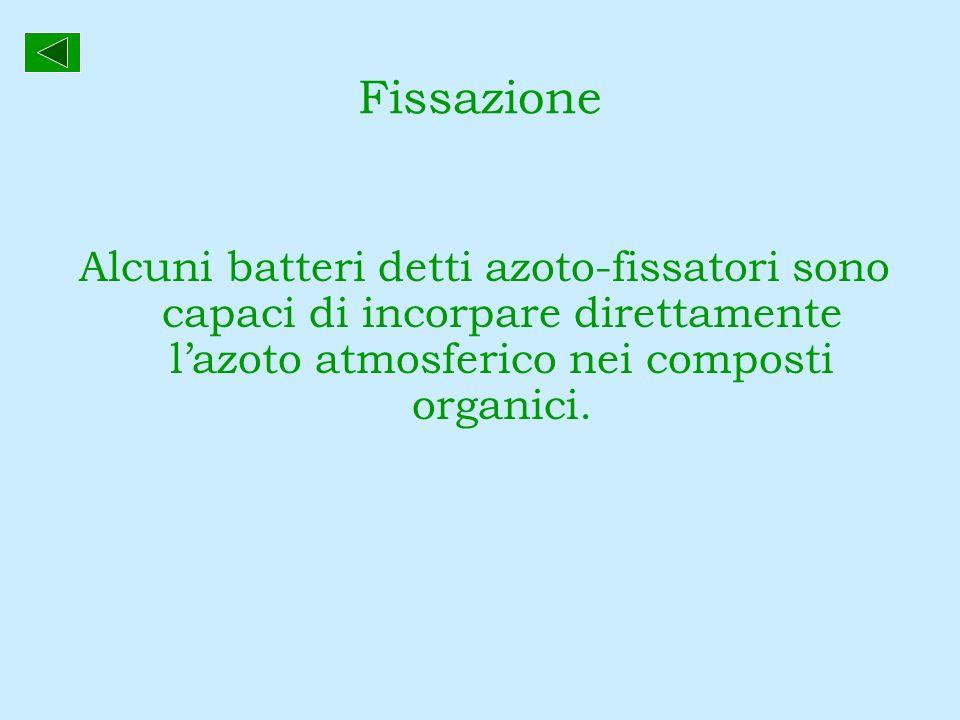 Fissazione Alcuni batteri detti azoto-fissatori sono capaci di incorpare direttamente l'azoto atmosferico nei composti organici.