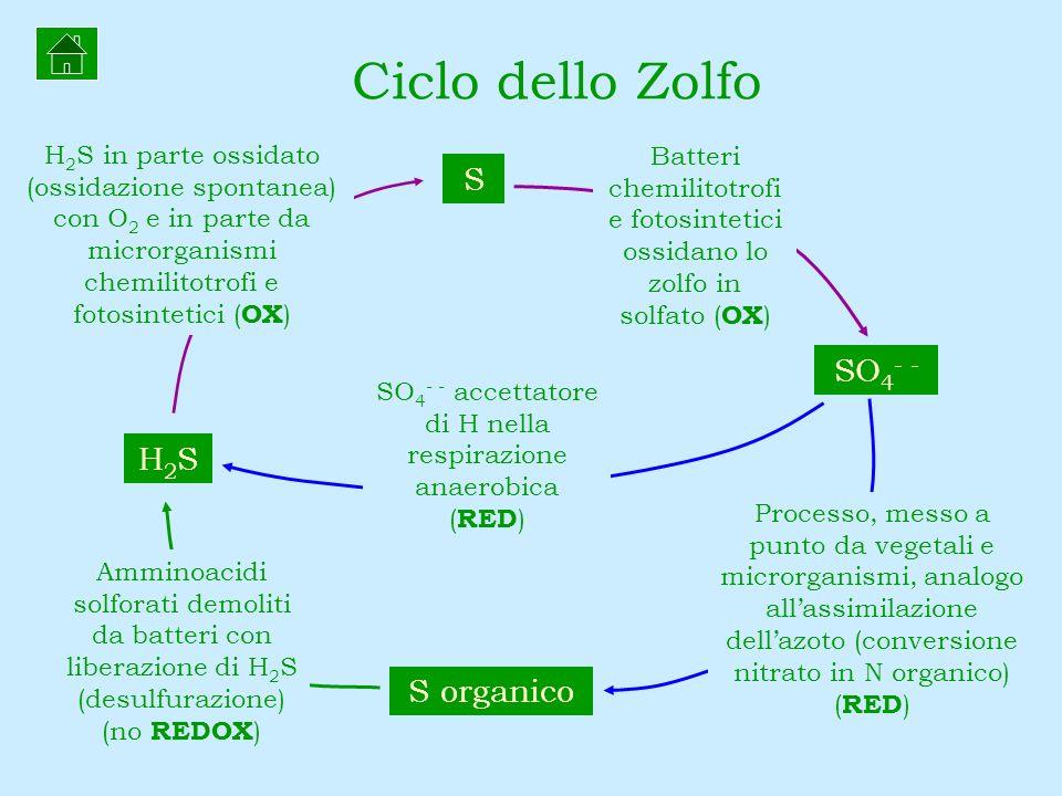 SO4- - accettatore di H nella respirazione anaerobica (RED)