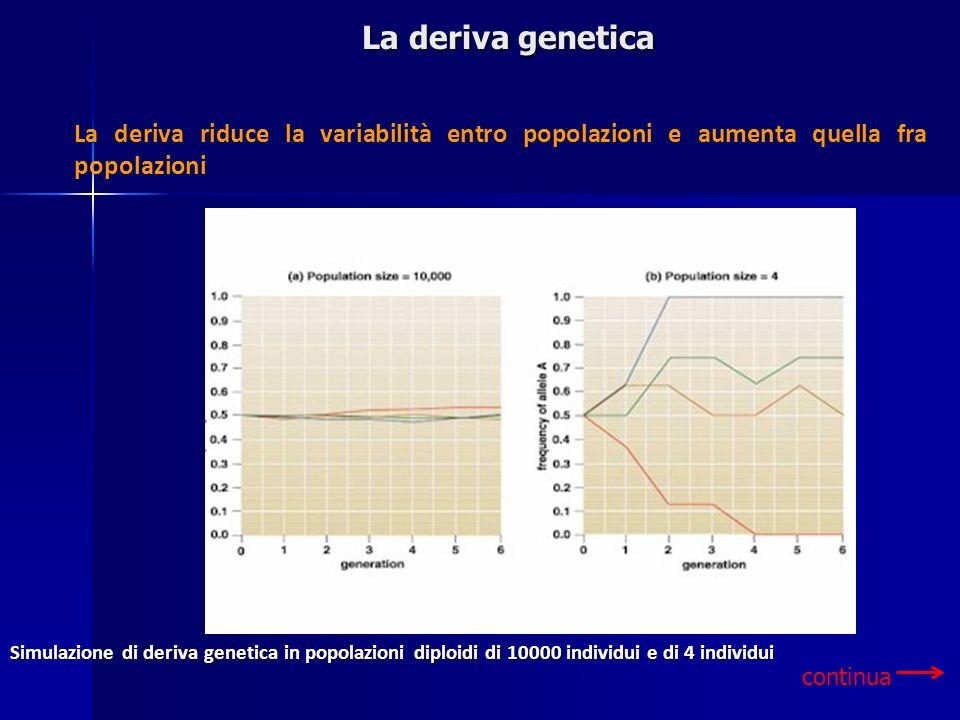 La deriva genetica La deriva riduce la variabilità entro popolazioni e aumenta quella fra popolazioni.
