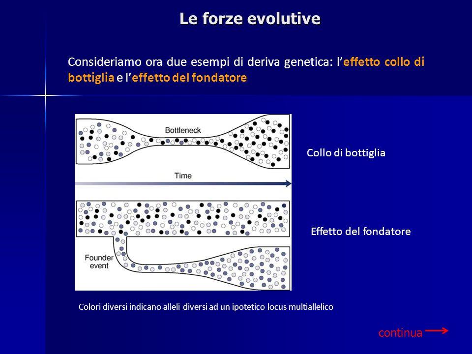 Le forze evolutive Consideriamo ora due esempi di deriva genetica: l'effetto collo di bottiglia e l'effetto del fondatore.