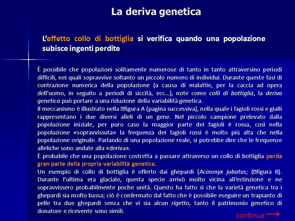 La deriva genetica L'effetto collo di bottiglia si verifica quando una popolazione subisce ingenti perdite.