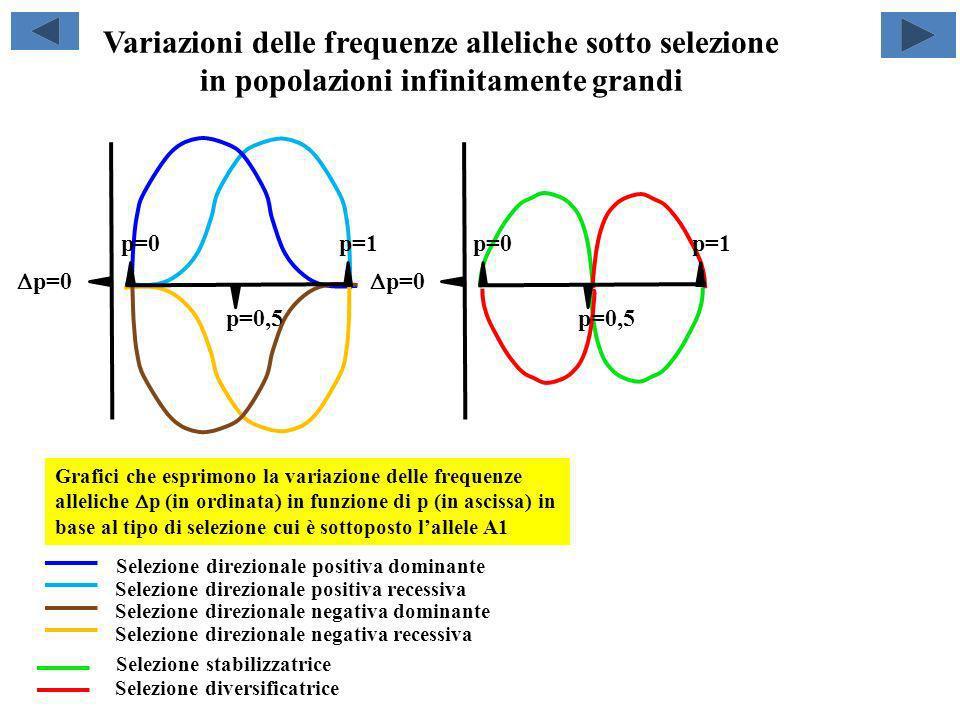 Variazioni delle frequenze alleliche sotto selezione in popolazioni infinitamente grandi