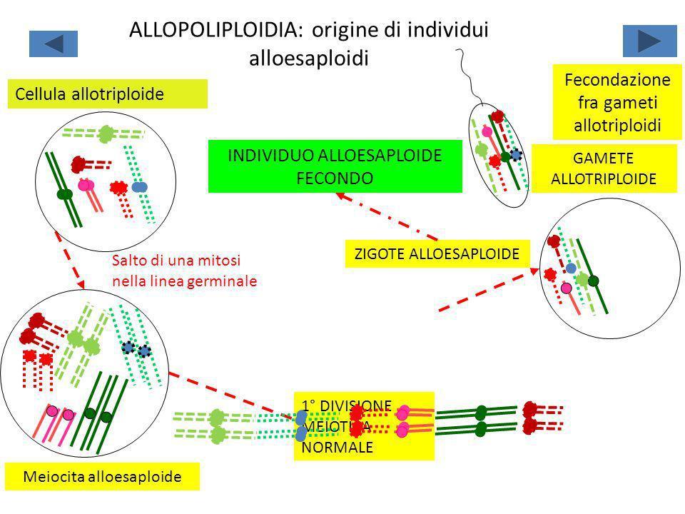 ALLOPOLIPLOIDIA: origine di individui alloesaploidi