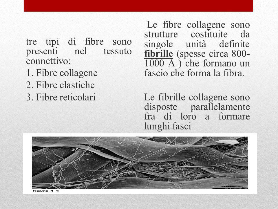 tre tipi di fibre sono presenti nel tessuto connettivo: