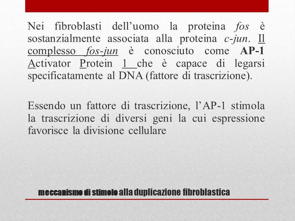 meccanismo di stimolo alla duplicazione fibroblastica