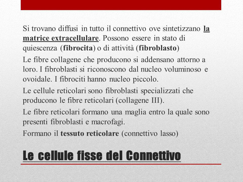Le cellule fisse del Connettivo