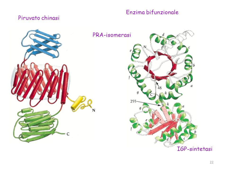 Enzima bifunzionale Piruvato chinasi PRA-isomerasi IGP-sintetasi
