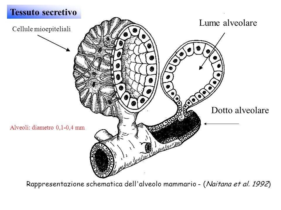 Tessuto secretivo Lume alveolare Dotto alveolare Cellule mioepiteliali