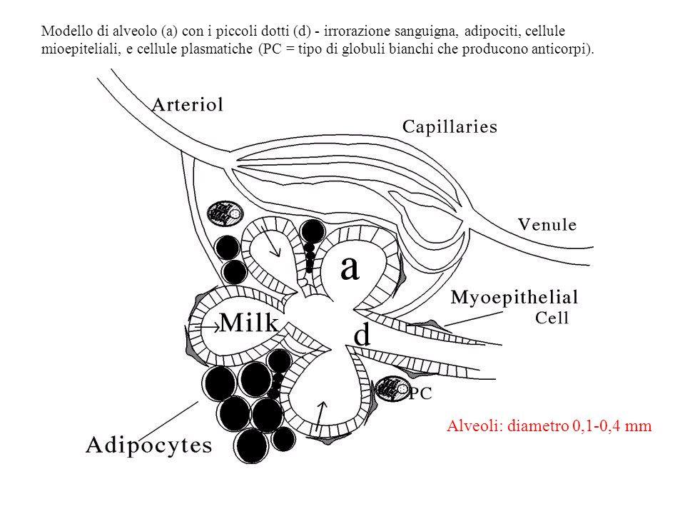Modello di alveolo (a) con i piccoli dotti (d) - irrorazione sanguigna, adipociti, cellule mioepiteliali, e cellule plasmatiche (PC = tipo di globuli bianchi che producono anticorpi).