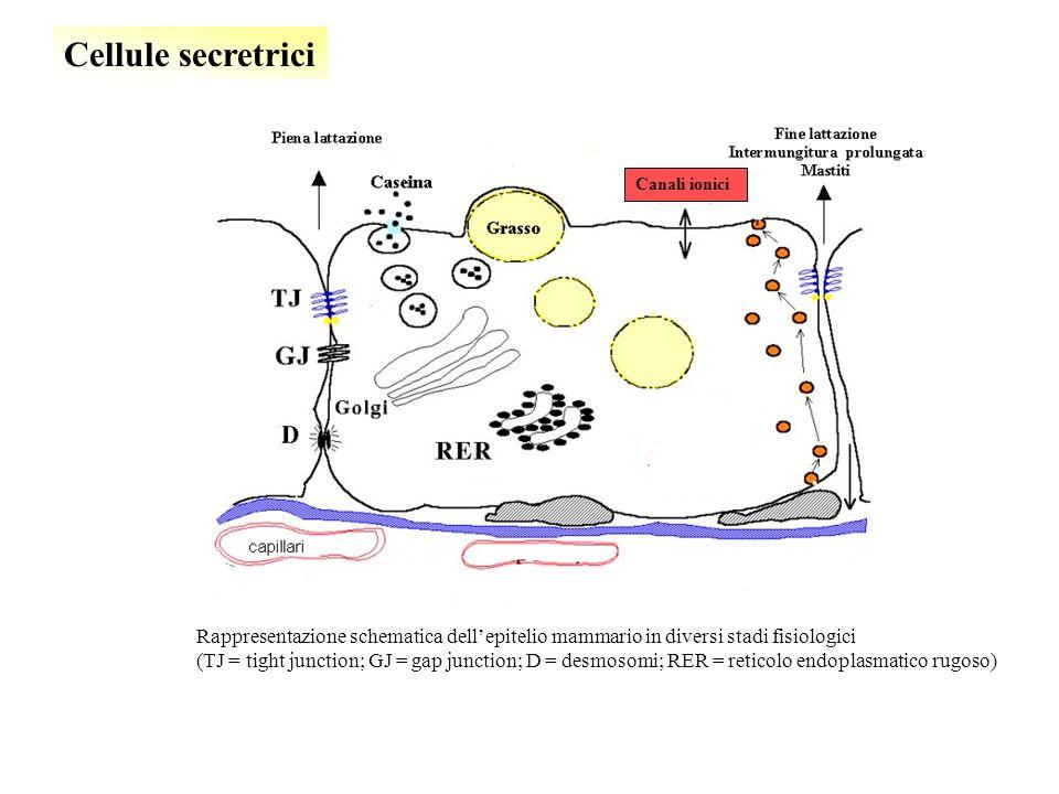 Cellule secretrici Canali ionici. Rappresentazione schematica dell'epitelio mammario in diversi stadi fisiologici.