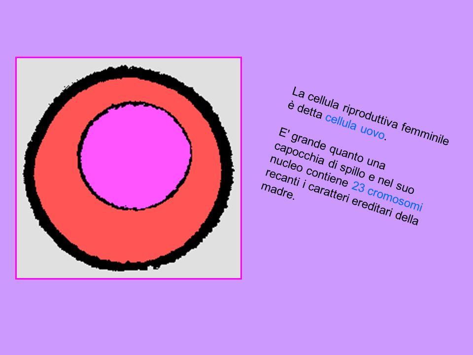 La cellula riproduttiva femminile è detta cellula uovo.