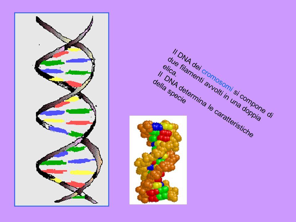 Il DNA dei cromosomi si compone di due filamenti avvolti in una doppia elica.