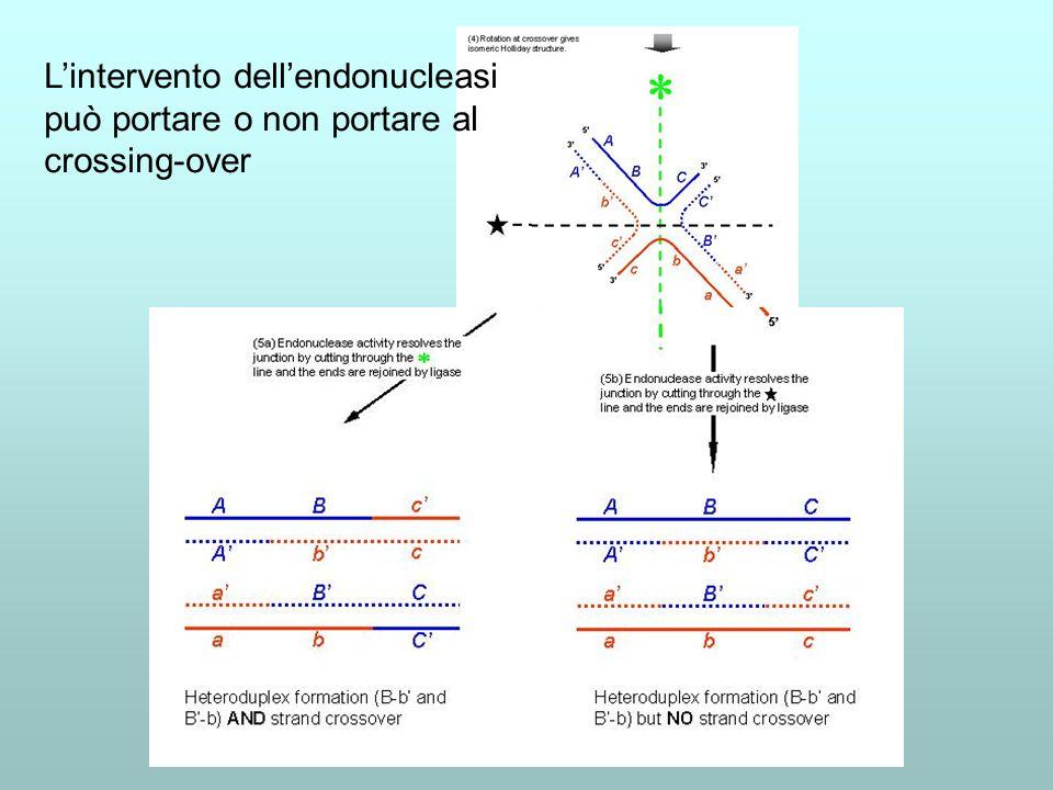 L'intervento dell'endonucleasi può portare o non portare al crossing-over
