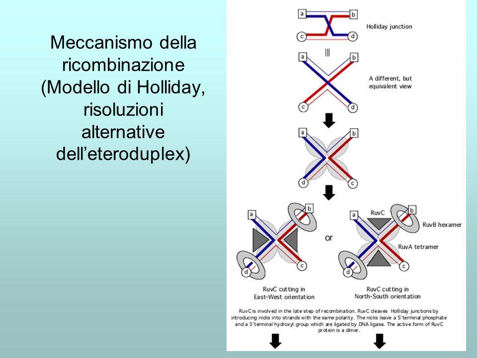 Meccanismo della ricombinazione (Modello di Holliday, risoluzioni alternative dell'eteroduplex)