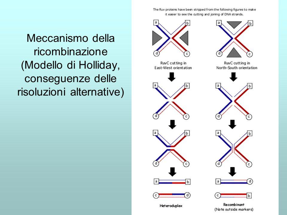 Meccanismo della ricombinazione (Modello di Holliday, conseguenze delle risoluzioni alternative)