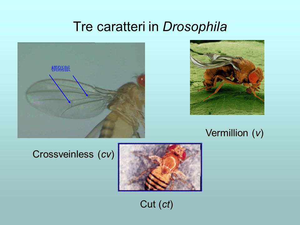 Tre caratteri in Drosophila