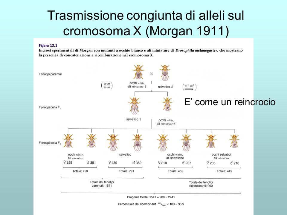 Trasmissione congiunta di alleli sul cromosoma X (Morgan 1911)