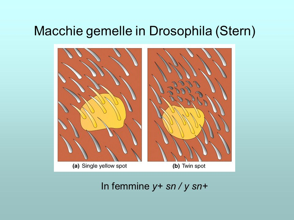 Macchie gemelle in Drosophila (Stern)