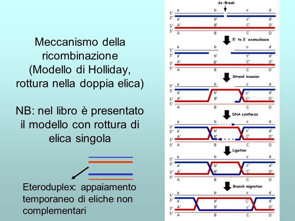 Meccanismo della ricombinazione (Modello di Holliday, rottura nella doppia elica) NB: nel libro è presentato il modello con rottura di elica singola