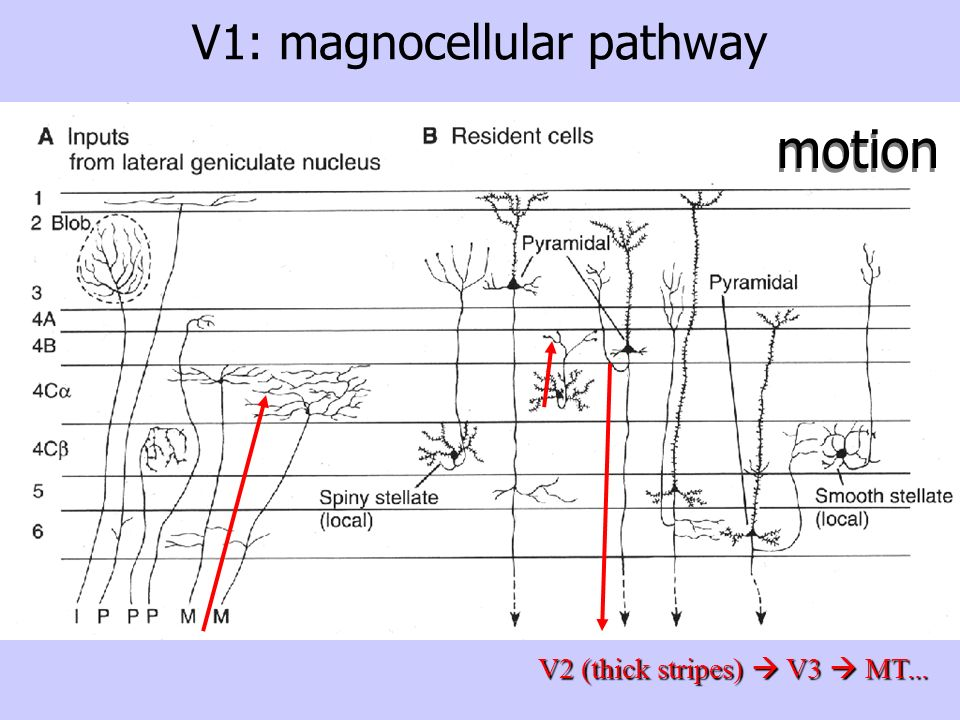 V1: magnocellular pathway
