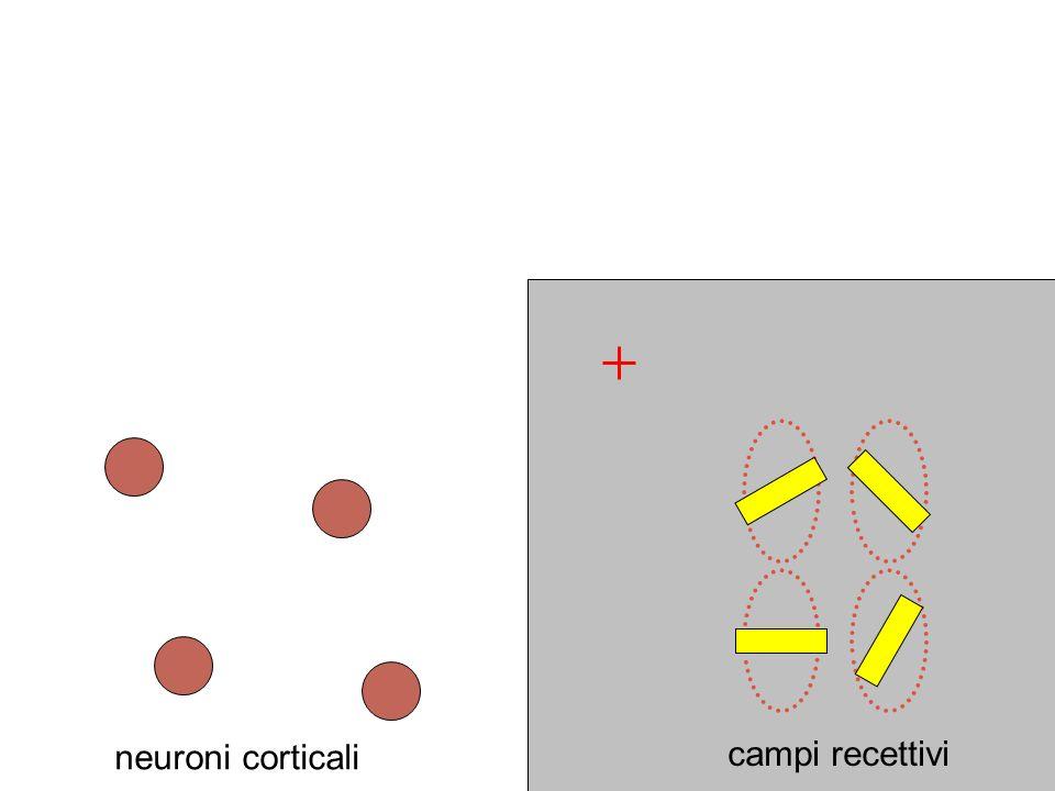 neuroni corticali campi recettivi
