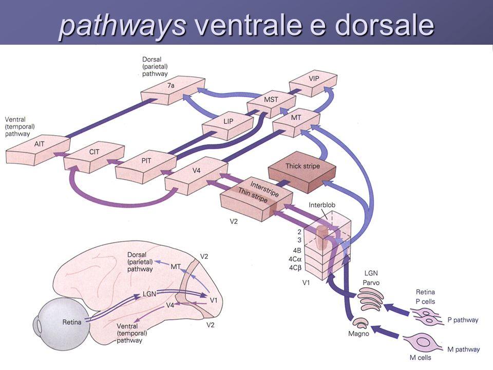 pathways ventrale e dorsale