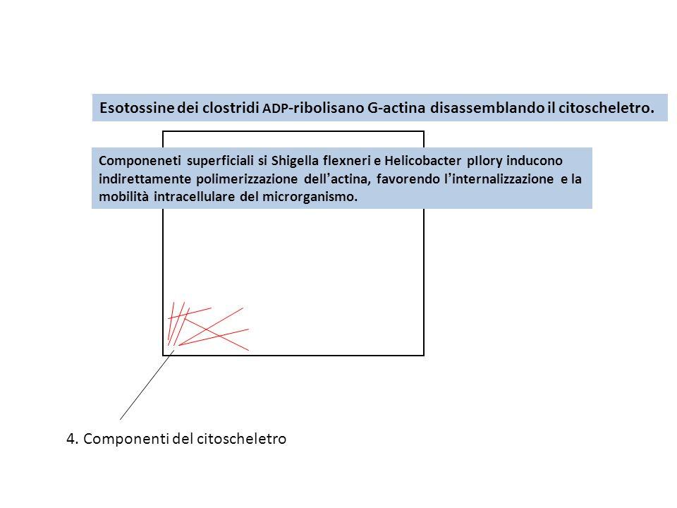 4. Componenti del citoscheletro