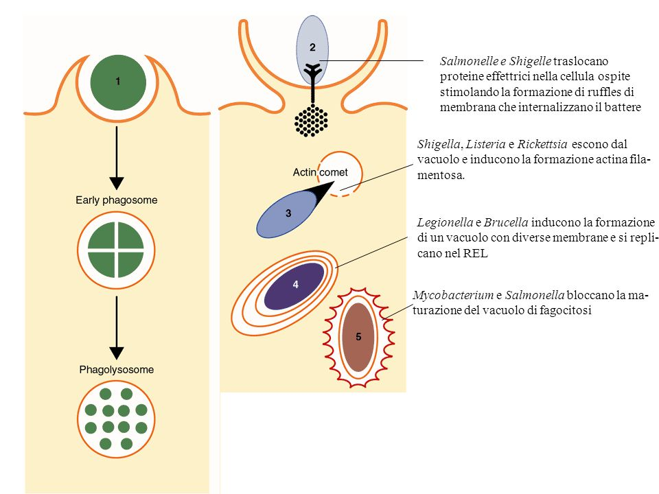 Salmonelle e Shigelle traslocano