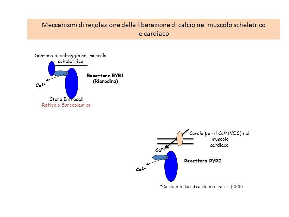 Meccanismi di regolazione della liberazione di calcio nel muscolo scheletrico