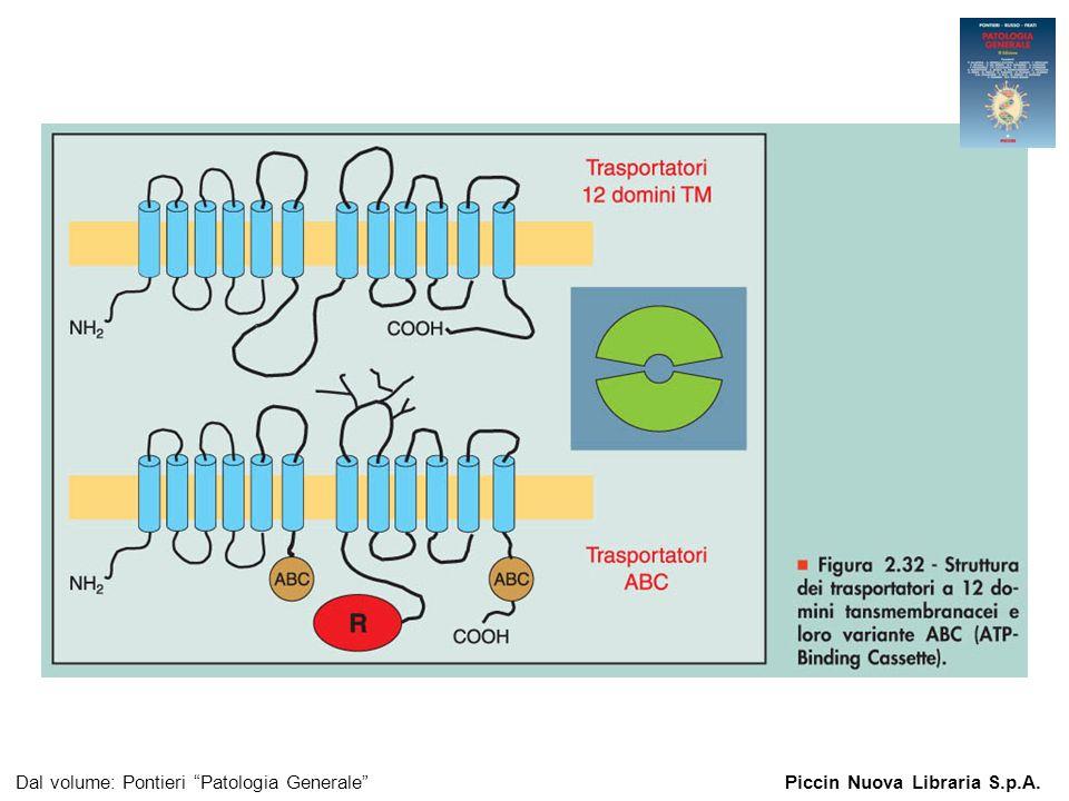 Figura 2.32 - Struttura dei trasportatori a 12 domini tansmembranacei e loro variante ABC (ATP-Binding Cassette).