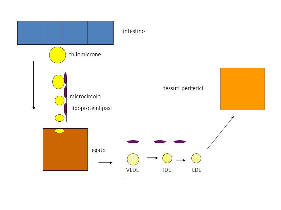 intestino chilomicrone microcircolo lipoproteinlipasi tessuti periferici fegato VLDL IDL LDL