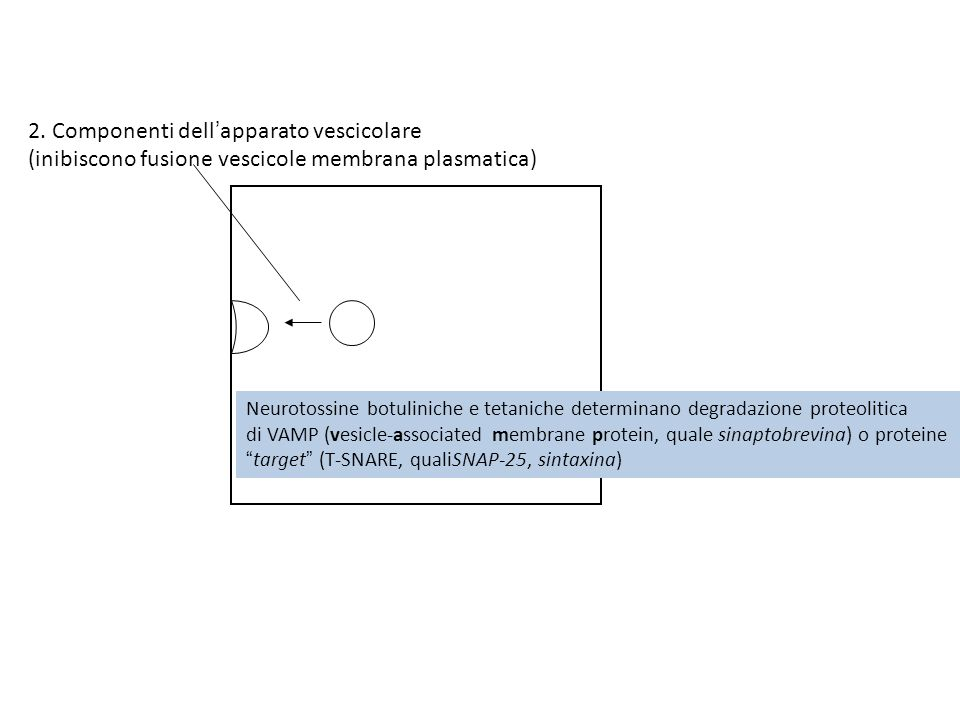 2. Componenti dell'apparato vescicolare