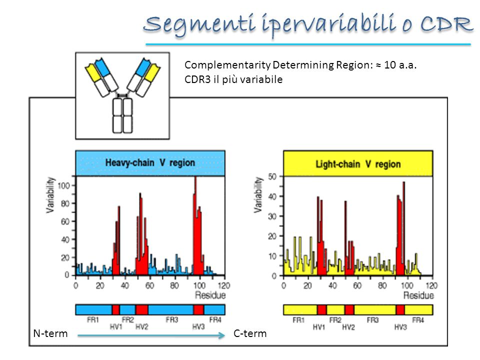 Segmenti ipervariabili o CDR