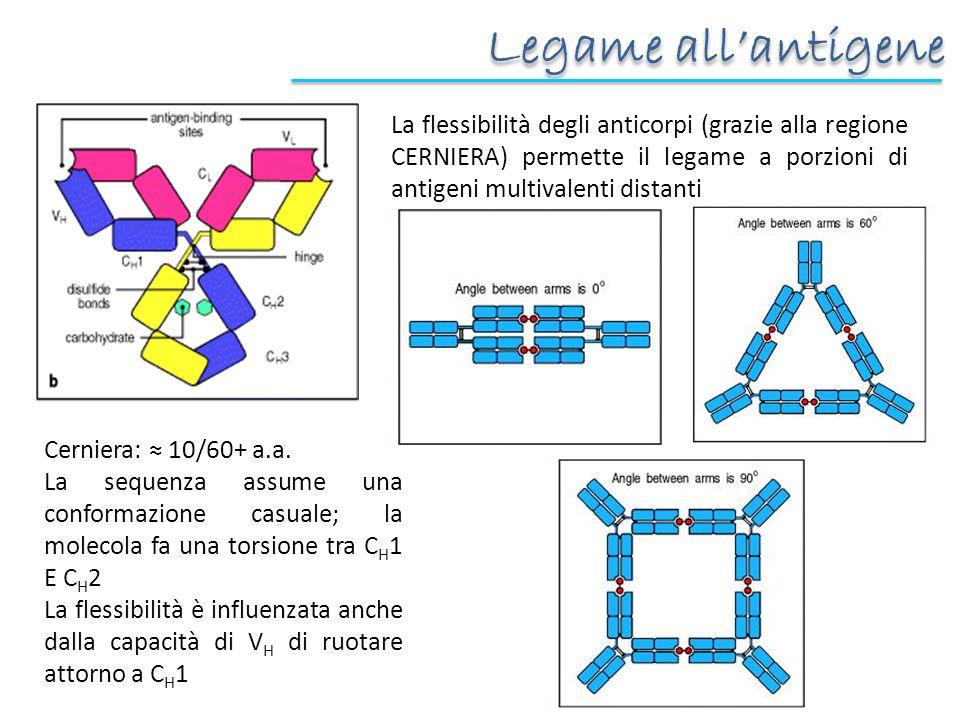 Legame all'antigene La flessibilità degli anticorpi (grazie alla regione CERNIERA) permette il legame a porzioni di antigeni multivalenti distanti.