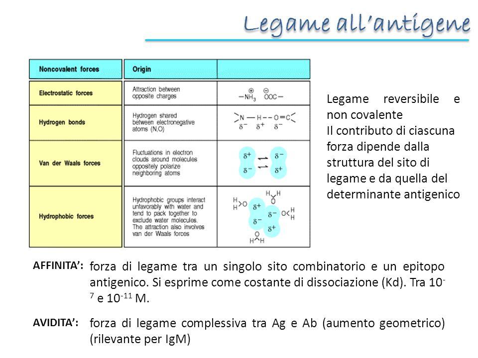 Legame all'antigene Legame reversibile e non covalente