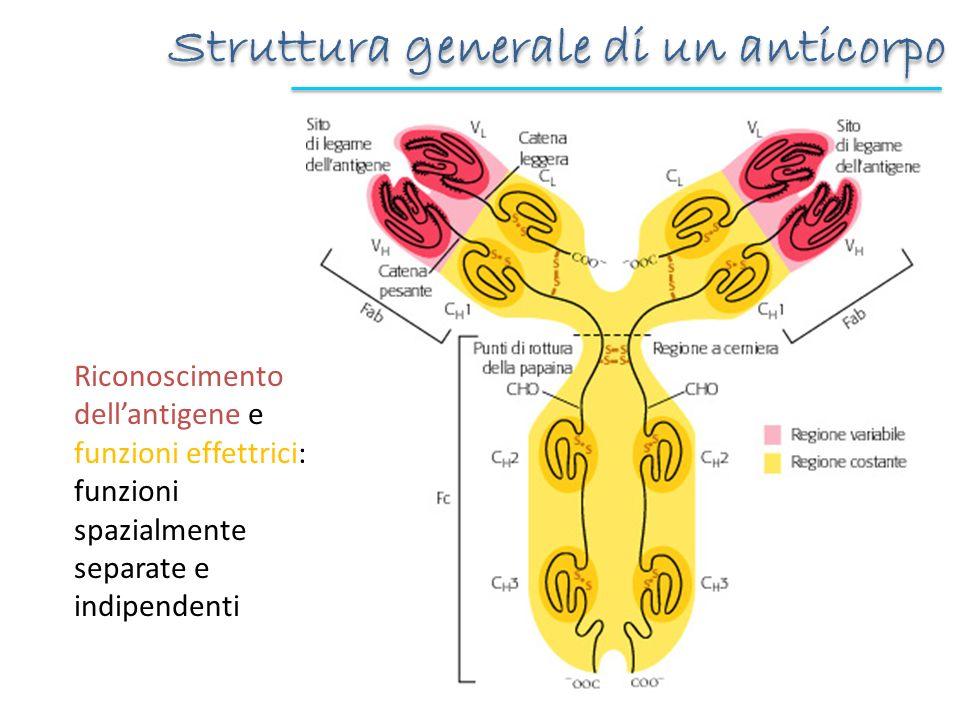 Struttura generale di un anticorpo