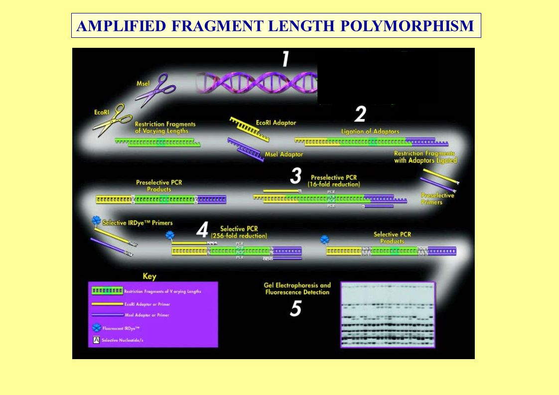 AMPLIFIED FRAGMENT LENGTH POLYMORPHISM