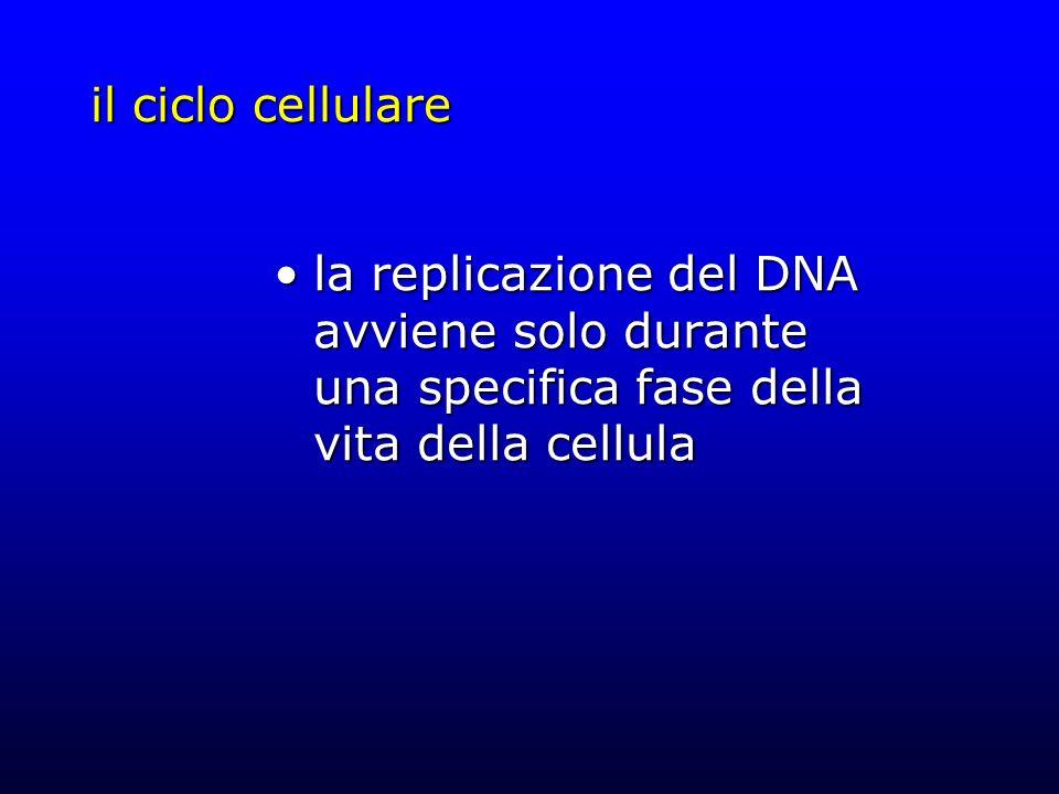 il ciclo cellulare la replicazione del DNA avviene solo durante una specifica fase della vita della cellula.