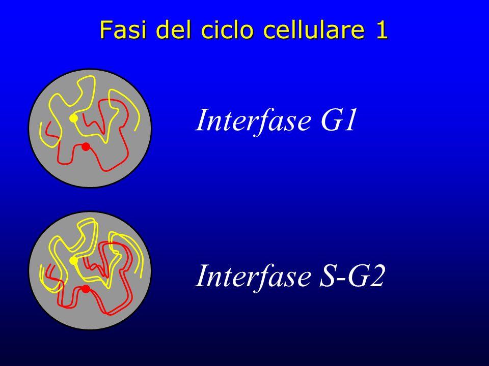Fasi del ciclo cellulare 1