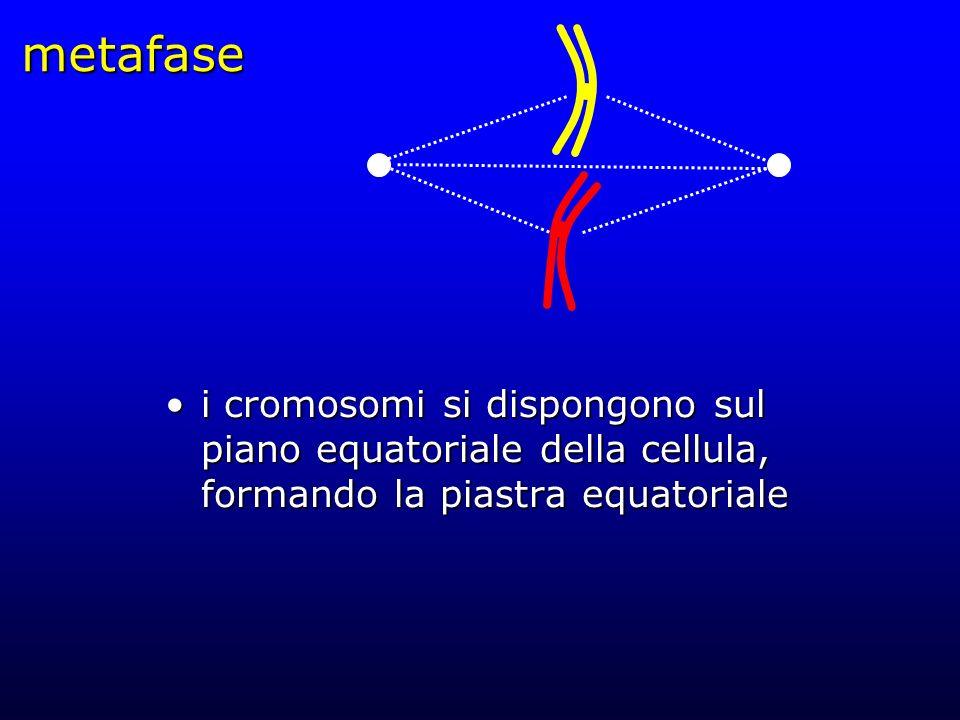 metafase i cromosomi si dispongono sul piano equatoriale della cellula, formando la piastra equatoriale.