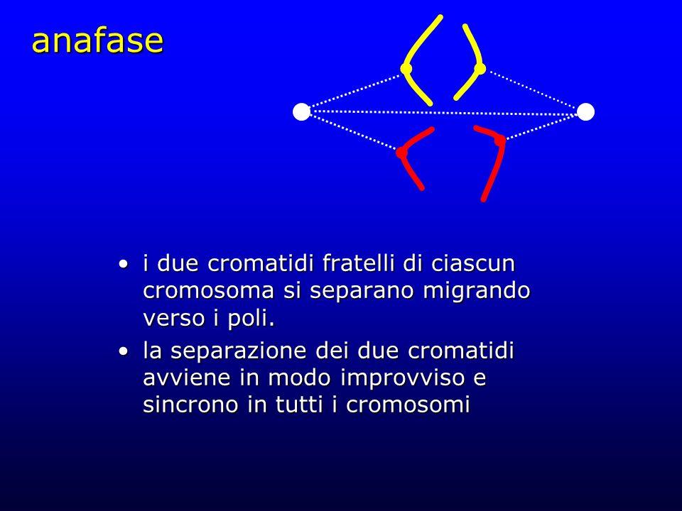 anafase i due cromatidi fratelli di ciascun cromosoma si separano migrando verso i poli.