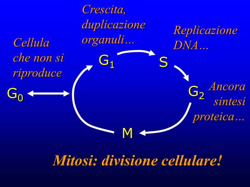 Mitosi: divisione cellulare!